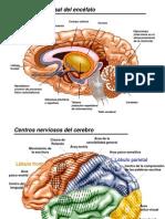 cerebro_2