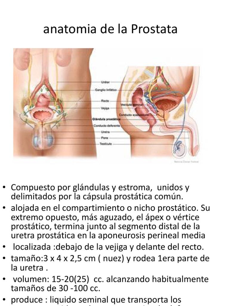 prostata anatomia