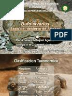 Bufo alvarius - Sapo del desierto de Sonora