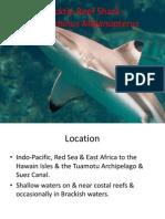 Blacktip Reef Shark- nus Melanopterus
