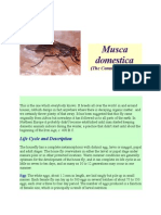 Musca Domestica House Fly