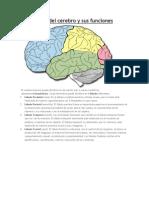 Los lóbulos del cerebro y sus funciones