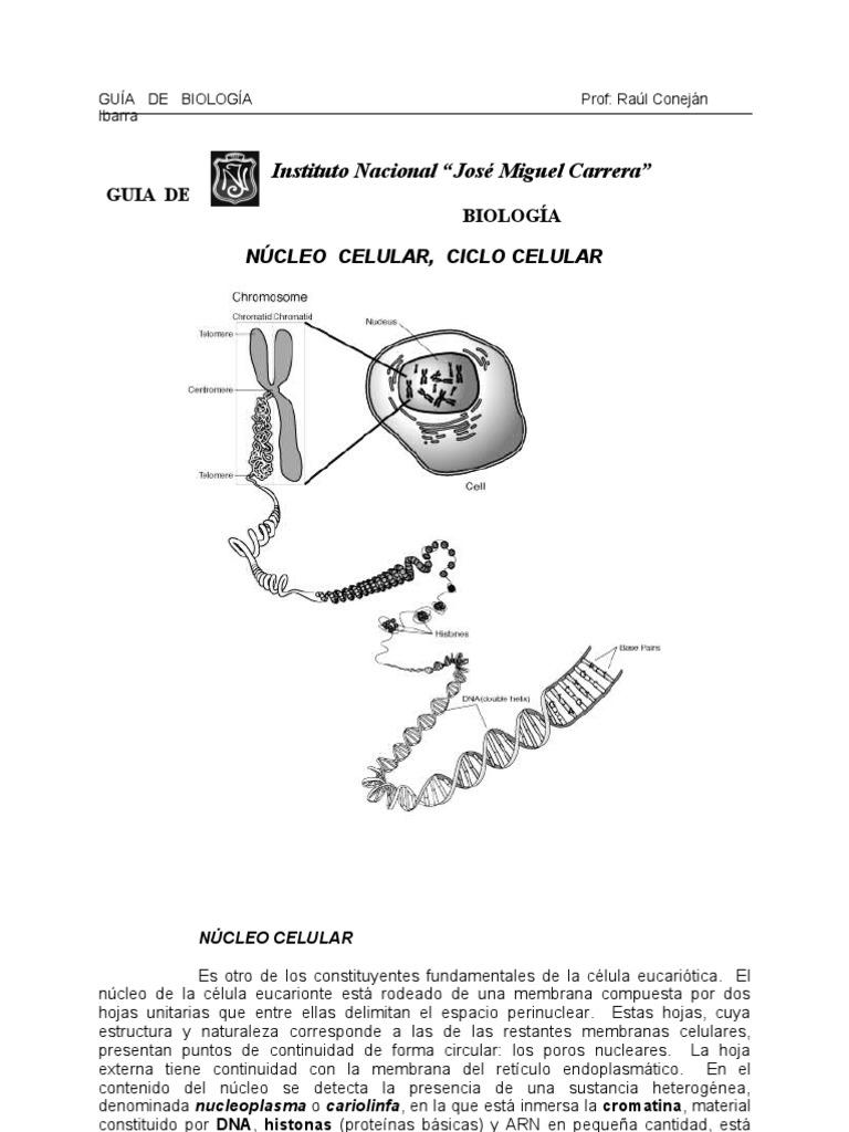 Núcleo, Ciclo celular, Mitosis, Meiosis