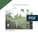 Maconellicoccus Hirsitus en Plantaciones de Teca