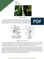 Giới thiệu về cây chuối