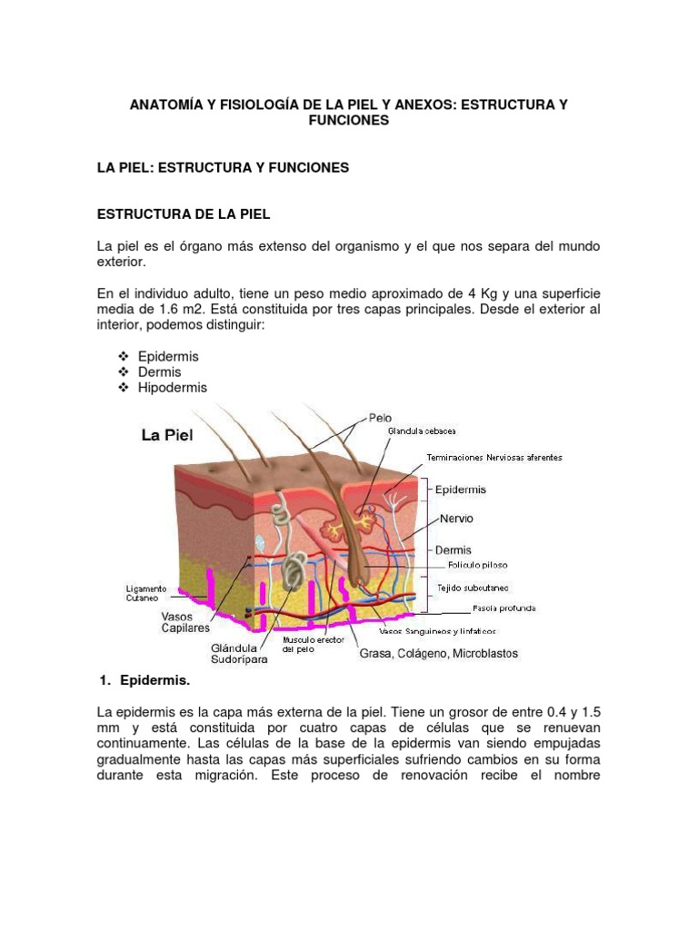 Excelente Anatomía De La Piel Y La Función Fotos - Anatomía de Las ...