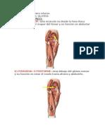 Músculos del Miembro inferior