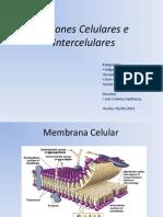Unin Intercelulares
