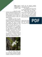 Rodriguesia bracteata