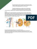 La nefrona es la unidad estructural y funcional básica del riñón