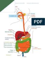 El Proceso Digestivo Se Compone de Cuatro Fases