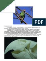 Pesquisa Sobre o Bico Do Papagaio de Cara Roxa