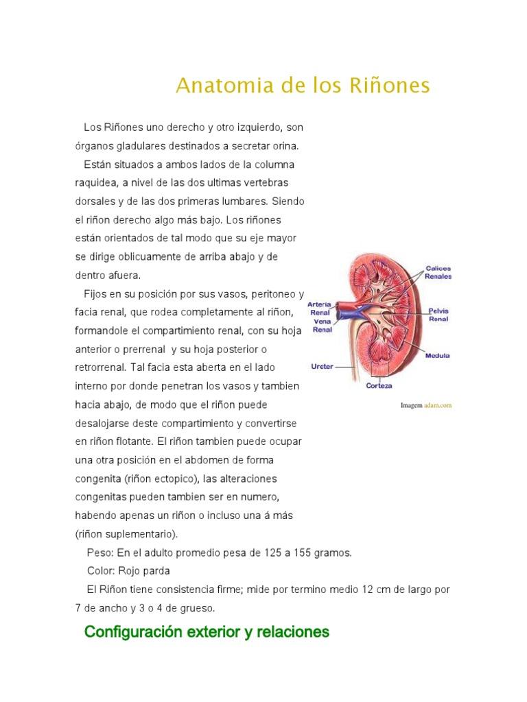 Anatomia de los Riñones