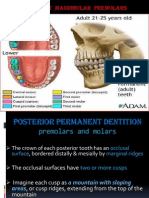 Lower Premolars