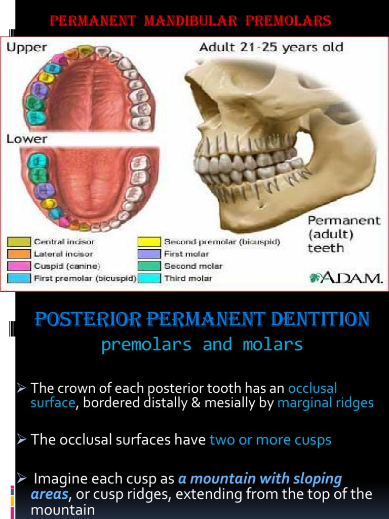 lower premolars tooth dentistry branches