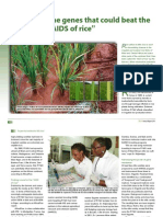 "The genes that could beat the ""AIDS of rice"""