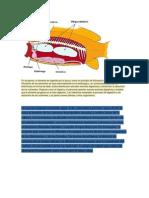 Sistema Digestivo y Respiratorio de Los Peces