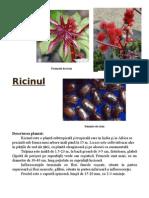 Ricinul