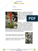 Aecmea (Aechmea fasciata)