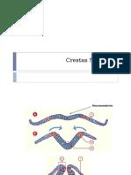 Crestas Neurales