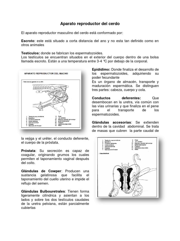 anatomia y fisiologia del aparato reproductor masculino en animales