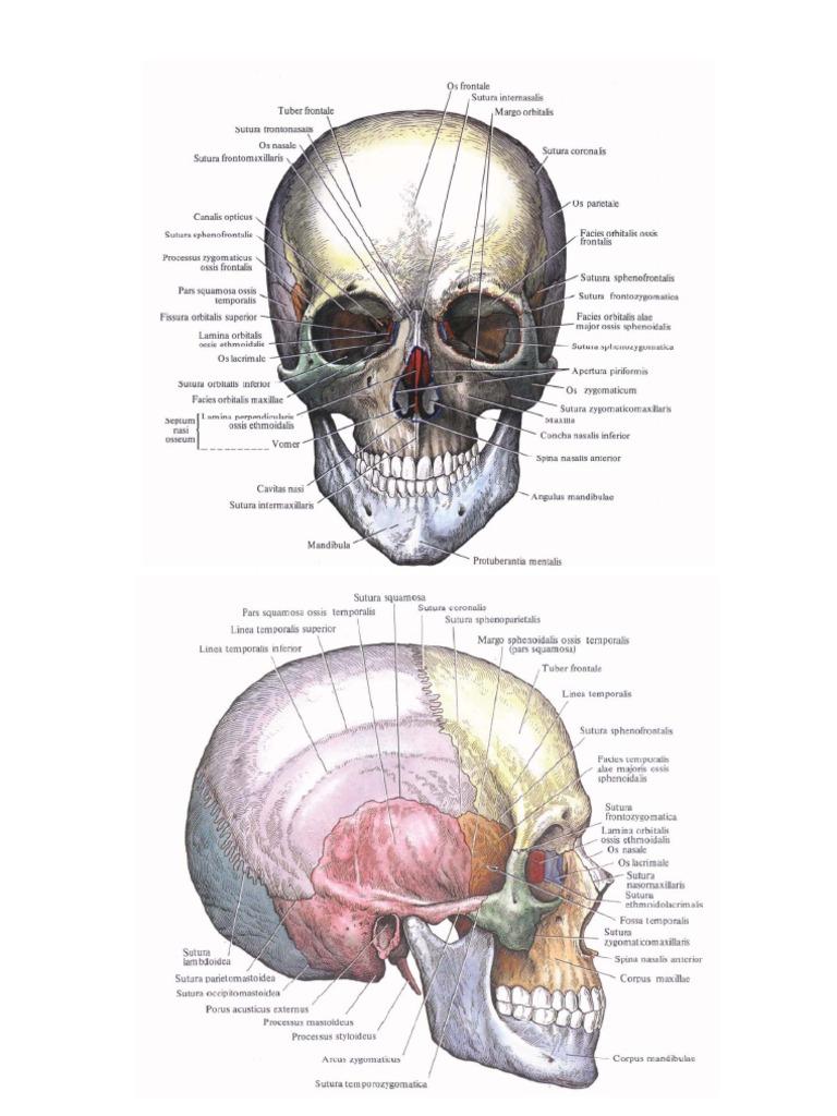 Tolle Anatomie Parotis Zeitgenössisch - Menschliche Anatomie Bilder ...