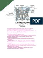 torax (anatomia)