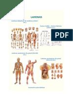 Laminas Anatomia