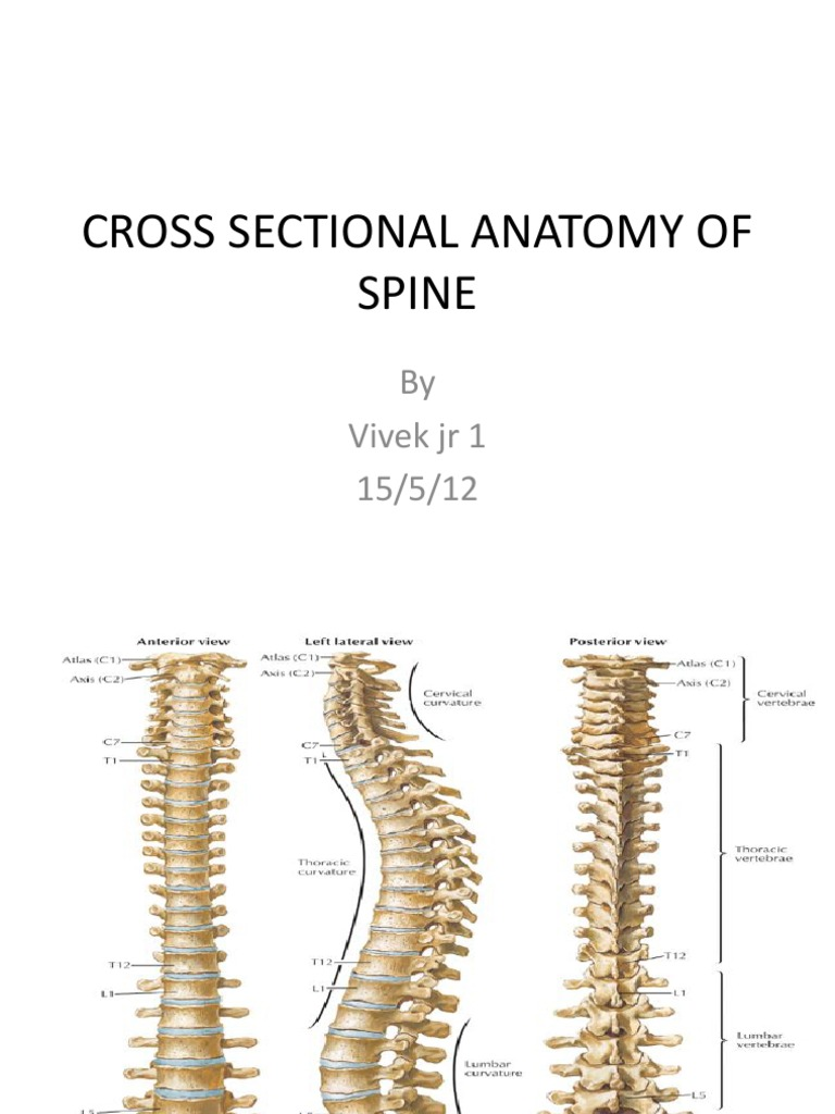 Cross Sectional Anatomy Of Spine Vertebral Column Spinal Cord
