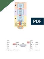 Metabolismo amminoacidi