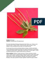Llantén - Plantago spp.