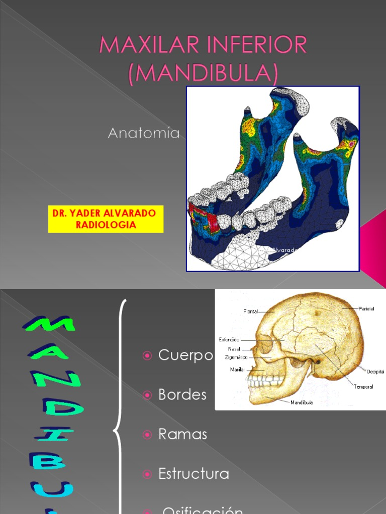 Anatomia Esdtes.2012 (1) | Dental Anatomy | Skeletal System