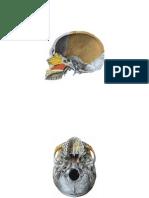 maxilarsupinf