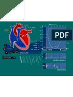 animacion ciclo cardiaco