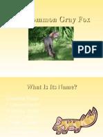 Common Gray Fox
