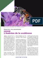Andrena harttofiana_scabieuse
