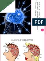 Tálamo, Hipotálamo, Subtálamo, Epitálamo,Retina, Nervios Opticos y Tractos.