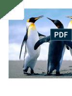 Pingu In