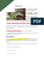 Las Kalanchoe Medicinales