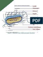 Chapitre II Etude De La Structure Des Bactéries