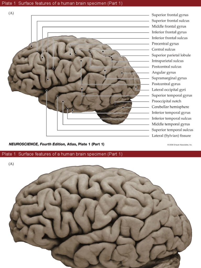 Atlas Figures of neuroscience | Brain | Neurology