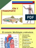 DIAPOSITIVA DE CIRCULACION Y TRANSPORTE BIOLOGÍA