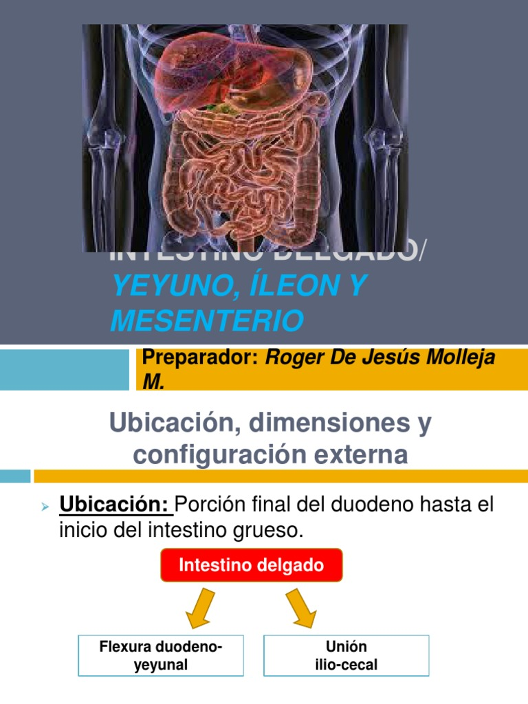 Atractivo Ubicación íleon Ornamento - Anatomía de Las Imágenesdel ...