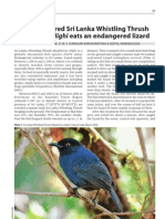 Endangered Sri Lanka Whistling Thrush (Sri Lanka )