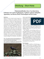 Jungle crow feeding on Cophotis ceylanica (Sri Lanka)