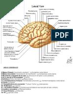 Areas Del Cerebro Origen Aparente de Pares Craneales y Lx
