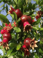 Pomegranate Recipes Quick and Easy