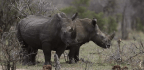 Trade In Horns Could Save Rhinos—Or Wipe Them Out.