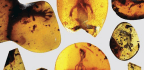 The 99-Million-Year-Old Dinosaur Feathers In A Chunk Of Amber