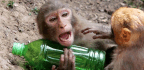 How the Drunken Monkey Hypothesis Explains Our Taste for Liquor